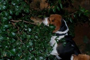 """Beaglen optræder i """"Bloddiamanten."""" Mht. frøer henvises der til Brdr. Grimm Foto: N. Cajus"""