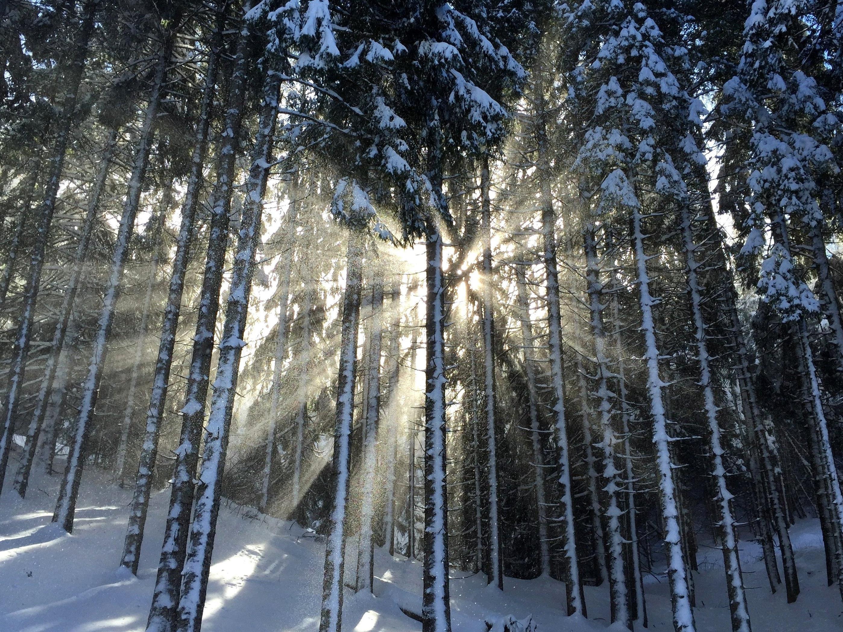 sun, snowy, forest